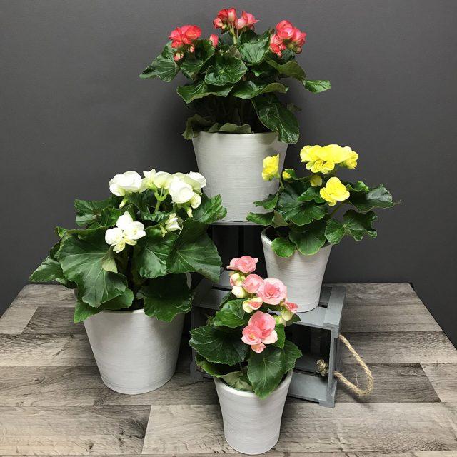 Bégonia à fleurs
