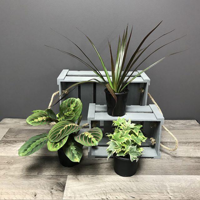 Trio de plantes 4 po