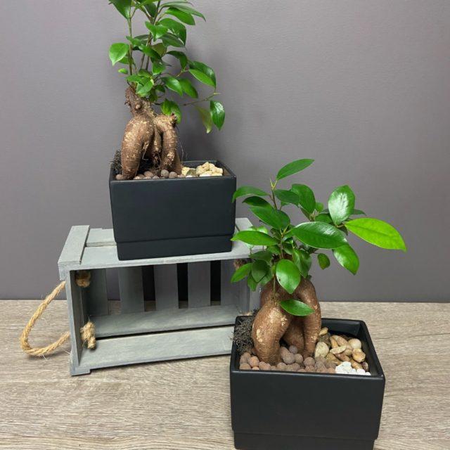 Ficus Ginseng en Bonsaï