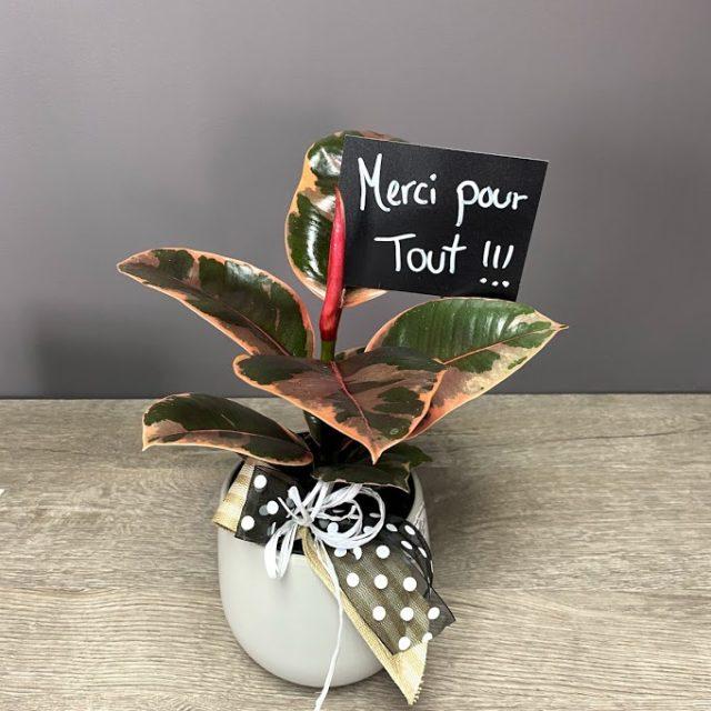 Ficus Rubis